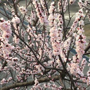 桜が^ ^   part2