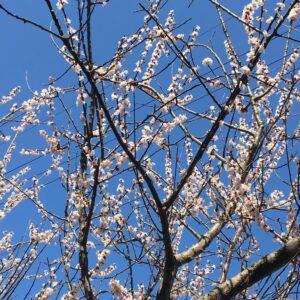 桜丘のシンボル^ ^